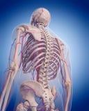 Krążeniowy system - posterior thorax Obraz Stock
