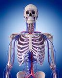 Krążeniowy system - thorax Obrazy Stock