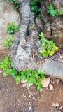Kręceni korzenie Carob drzewo fotografia royalty free