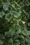 Kręcona gałąź Corylus avellana contorta obrazy stock