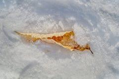 Kręcony brzoza liść w śniegu zdjęcia stock