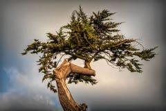 Kręcony cyprysowego drzewa wierzchołek fotografia stock