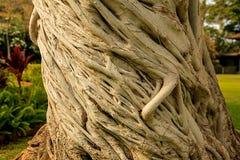 Kręcony Drzewny bagażnik zdjęcie royalty free
