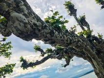 Kręcony drzewo przeciw niebu blisko jeziora obraz royalty free