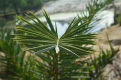 Kręgosłup roślina z wszechstronnym spojrzeniem Zdjęcia Royalty Free