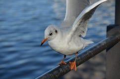 Kręcenia seagull Zdjęcie Stock