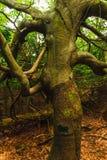 Kręcony bukowy drzewo Obraz Royalty Free