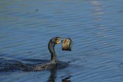 kr?nad dubbel phalacrocorax f?r auritus cormorant fotografering för bildbyråer