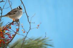 krönad sparrowwhite Royaltyfria Foton
