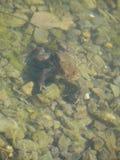 Kr?te im Wasser stockbilder