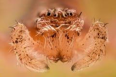 Krańcowy powiekszanie - Biały pająk, frontowy widok Obraz Stock