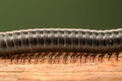 Krańcowy powiekszanie - Centipede zdjęcie stock
