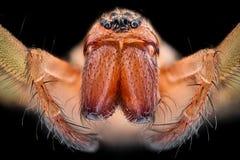 Krańcowy powiekszanie - Domowi pająka Tegenaria agrestis Obrazy Stock