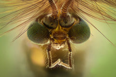 Krańcowy powiekszanie - komar głowa, Chironomus, frontowy widok fotografia stock
