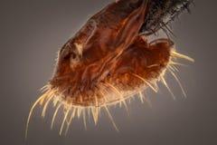 Krańcowy powiekszanie - komarnic kłujki, Obrazy Royalty Free