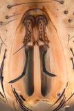 Krańcowy powiekszanie - komarnicy twarzy szczegóły przy 20x Zdjęcia Stock