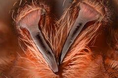 Krańcowy powiekszanie - Meksykańscy redknee tarantuli fangs zdjęcia stock