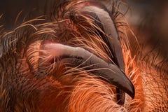 Krańcowy powiekszanie - Meksykańscy redknee tarantuli fangs fotografia stock