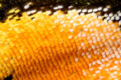 Krańcowy powiekszanie - motyla skrzydło Obrazy Royalty Free