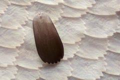 Krańcowy powiekszanie - motyla skrzydło pod mikroskopem obrazy royalty free