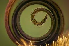 Krańcowy powiekszanie - Motylia kłujka pod mikroskopem Obraz Stock