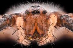 Krańcowy powiekszanie - osa pająk, Argiope bruennichi Fotografia Stock