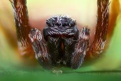Krańcowy powiekszanie - pająk na liściu, frontowy widok Zdjęcie Stock