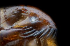 Krańcowy powiekszanie - pchła przy mikroskopem, 50x powiekszanie obrazy royalty free