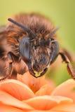 Krańcowy powiekszanie - pszczoła zapyla kwiatu Zdjęcia Royalty Free