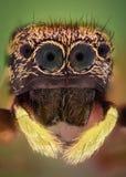 Krańcowy powiekszanie - Skaczący pająka ono przygląda się, frontowy widok Zdjęcie Royalty Free