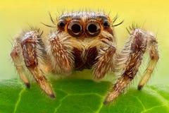 Krańcowy powiekszanie - Skakać pająka na liściu Obraz Stock