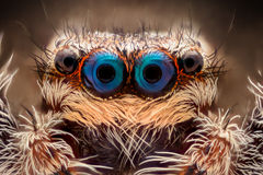 Krańcowy powiekszanie - Skakać pająka portret obraz royalty free