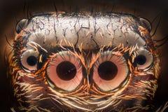 Krańcowy powiekszanie - Skakać pająka portret obraz stock