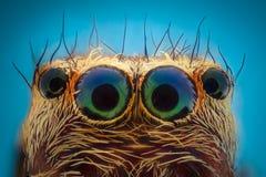 Krańcowy powiekszanie - Skakać pająka portret zdjęcia stock