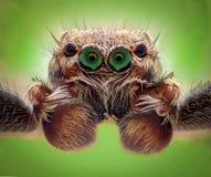 Krańcowy powiekszanie - Skakać pająka portret, frontowy widok Fotografia Stock