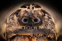 Krańcowy powiekszanie - Wilczego pająka Lycosidae Zdjęcia Stock