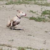 Krańcowy akcja psa bieg Zdjęcia Royalty Free