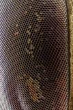 Krańcowy powiekszanie - komarnicy oko przy 20x Zdjęcie Stock