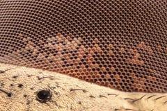 Krańcowy powiekszanie - komarnicy oko przy 20x Zdjęcie Royalty Free