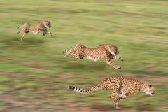 köra för cheetahs Royaltyfri Fotografi