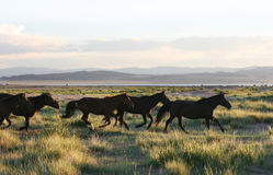 köra för hästar som är wild Arkivfoto