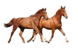 Köra för två härligt hästar som isoleras på vit Arkivbild