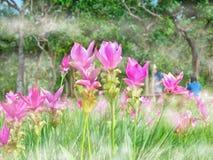 Kra Jiao ou Siam Tulip Flower Blossom cor-de-rosa, foco macio Foto de Stock Royalty Free