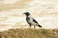 Kraai/corone Corvus met een kap cornix stock afbeelding