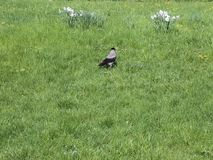 Kraai die in het gras lopen stock video