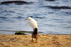 Kraai en witte reigervogels op het strand Stock Afbeelding