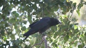 Kraai het squawking, het krassen stock videobeelden