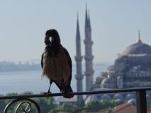 Kraai in Istanboel stock afbeelding