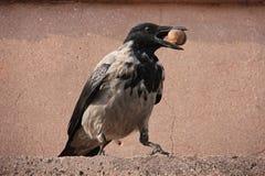 Kraai met een kap (Corvus cornix) Royalty-vrije Stock Foto
