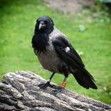 Kraai met een kap (Corvus-corone cornix) Royalty-vrije Stock Afbeeldingen